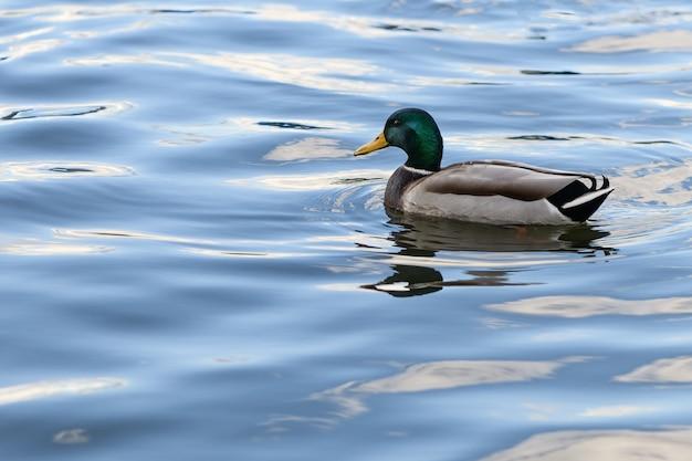 L'anatra sta nuotando nell'acqua blu del lago Foto Premium