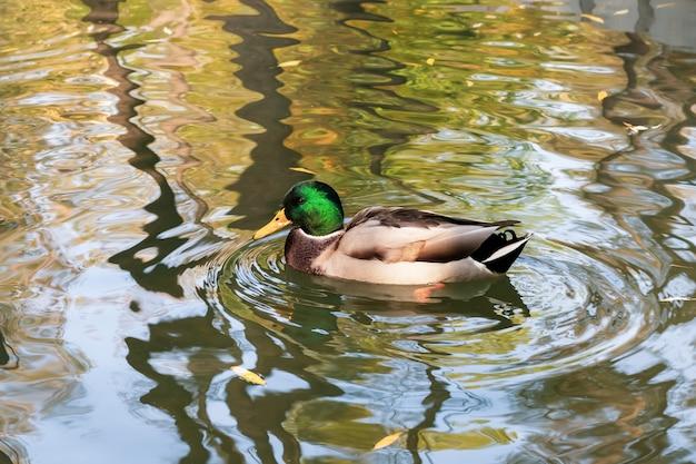 L'anatra nuota sull'acqua nello stagno in autunno. germano reale, uccello maschio. drake è un uccello acquatico con una testa verde Foto Premium