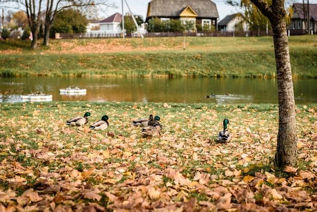 Anatre vicino allo stagno nella sosta di autunno. Foto Premium