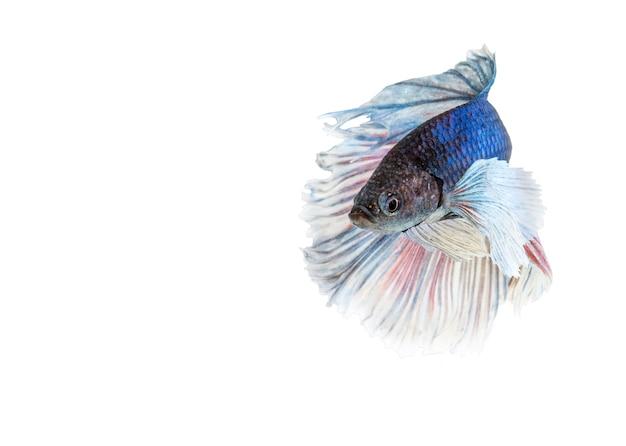 Orecchie di elefante betta pesce, blu e bianco halfmoon betta splendens o pesce combattente siamese isolato su bianco Foto Premium