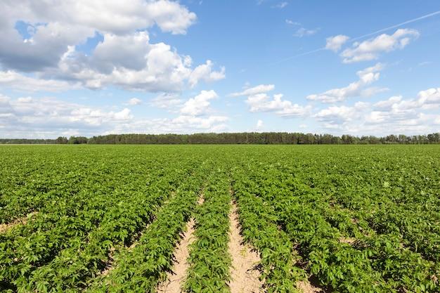 Anche file di cime di patate verdi su un campo agricolo contro un cielo azzurro e nuvole Foto Premium