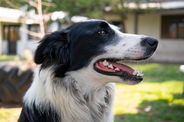 Faccia di un cane di border collie che guarda al lato Foto Premium