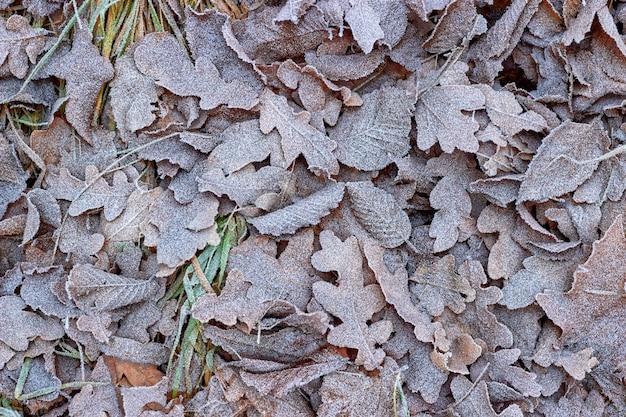 Caduto autunno foglie di quercia sull'erba ricoperta di brina. ciao autunno Foto Premium