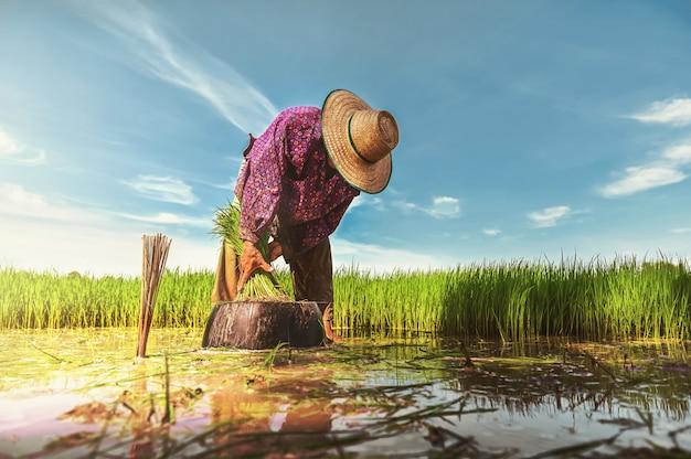 Lavoro contadino nel campo di riso Foto Premium