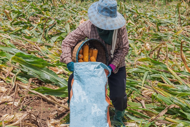 Agricoltori che raccolgono mais a mezzogiorno Foto Premium