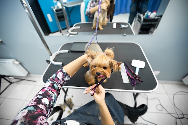 Taglio di capelli femminile toelettatore yorkshire terrier sul tavolo per la toelettatura Foto Premium