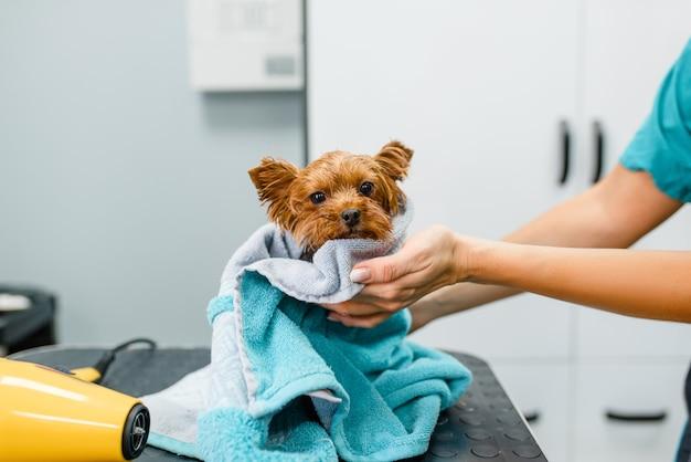 Toelettatore femminile pulisce il cagnolino carino con un asciugamano, procedura di lavaggio, salone di toelettatura. Foto Premium