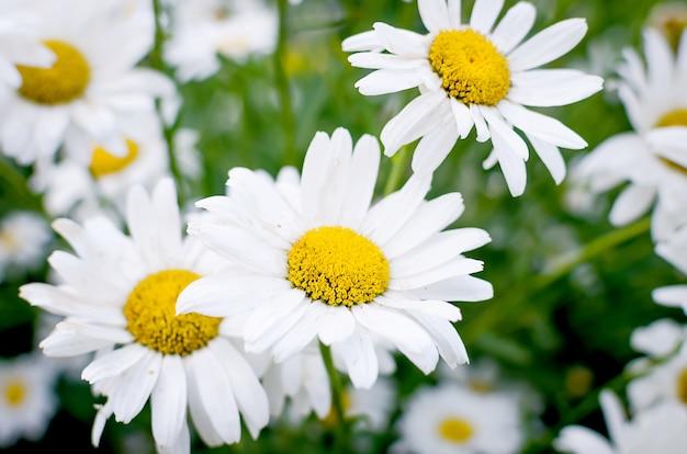 Campo in fiore camomille prato della famiglia delle margherite, Foto Premium