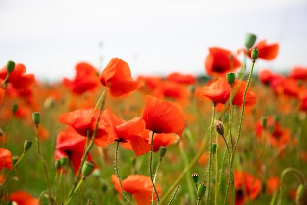 Campo con bellissimi papaveri rossi. bel paesaggio Foto Premium