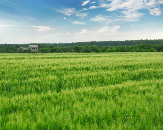 Campo con grano verde e cielo blu con foresta Foto Premium