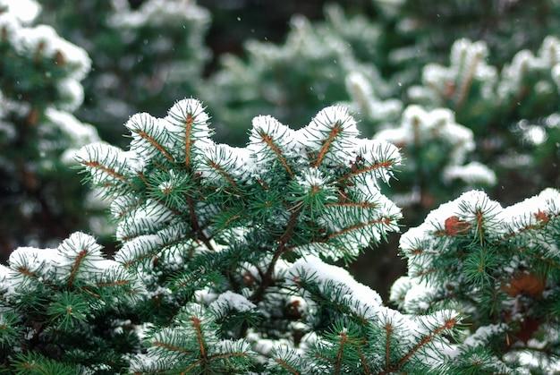 Rami di abete nella neve, Foto Premium