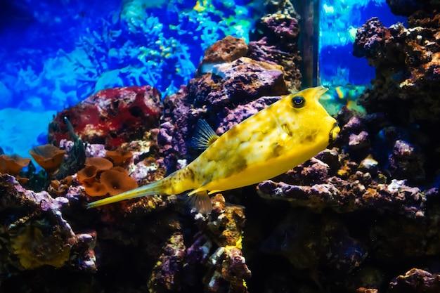 Pesce cowfish longhorn nuotare in un grande acquario luminoso tra le scogliere Foto Premium
