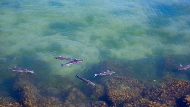 I pesci che nuotano nell'oceano atlantico sono i cefali di chelon, i cefali e l'oceano Foto Premium