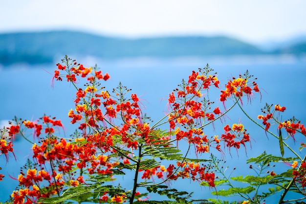Fiore dell'albero di fiamma che fiorisce nell'isola e nel mare di estate Foto Premium