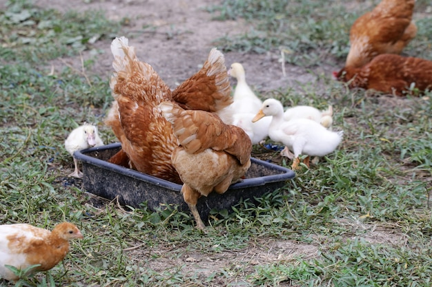 Stormo di anatroccoli e pollo si allevano insieme nell'allevamento di pollame Foto Premium