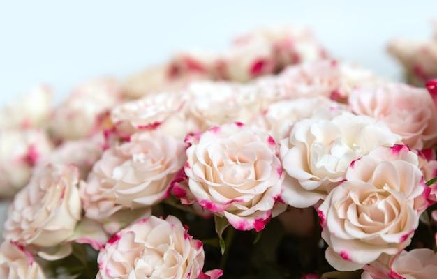 Sfondo floreale. rose giallo chiaro con petali rosa Foto Premium