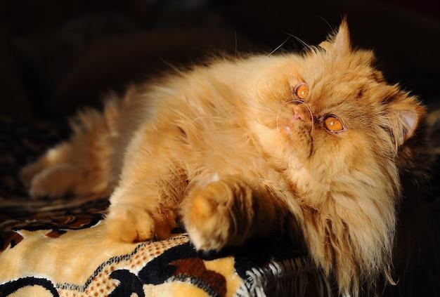 Gatto persiano rosso lanuginoso che dorme sul divano Foto Premium