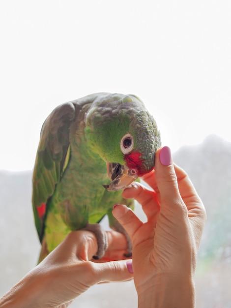 Accarezzò il pappagallo seduto sulla mano. animale preferito, cura e cura del concetto. Foto Premium