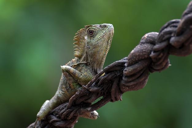 Lucertola del drago della foresta sul ramo di un albero Foto Premium