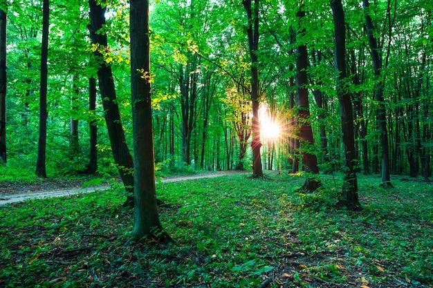 Alberi della foresta. sfondi di natura verde e legno del sole | Foto Premium