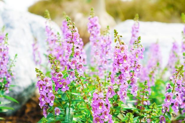 Non ti scordar di me, angelonia è piante biennali che possono essere rilasciate durante tutto l'anno Foto Premium