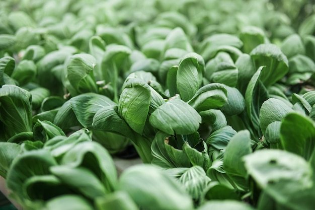 Il bok choy fresco, il pak choi o il pok choi vengono coltivati con il metodo idroponico e sono pronti per essere raccolti. Foto Premium