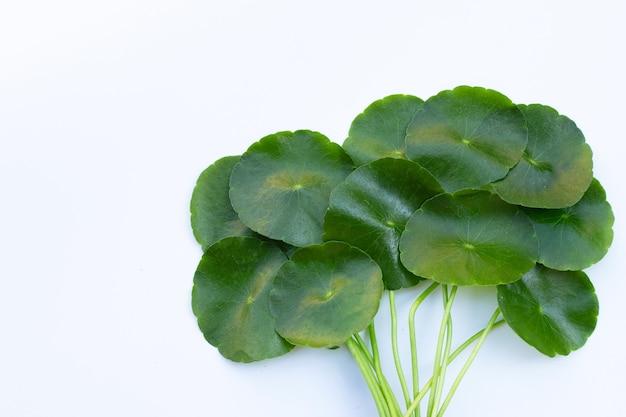 Foglie verdi fresche di centella asiatica o pianta di centella asiatica Foto Premium