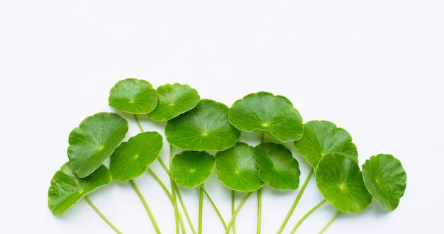 Foglie asiatiche fresche di centella verde o pianta del pennywort dell'acqua Foto Premium