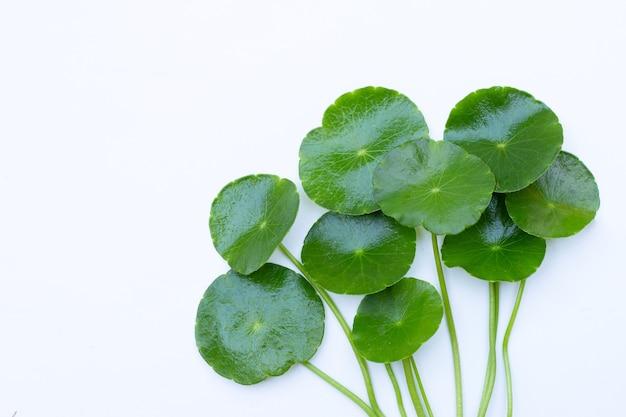Foglie verdi fresche di centella asiatica Foto Premium