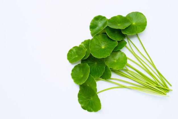 Foglie verdi fresche della centella o pianta del pennywort dell'acqua Foto Premium
