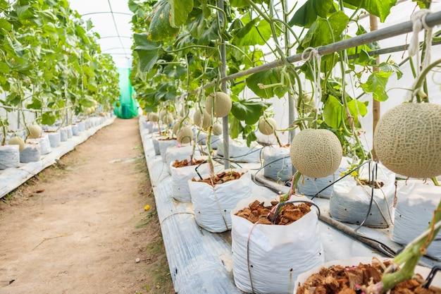 Piante di meloni cantalupo giapponesi verdi freschi che crescono nel giardino biologico della serra Foto Premium
