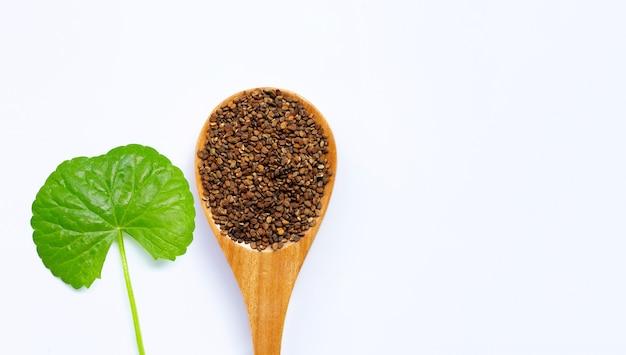 Centella asiatica foglia fresca con semi, erbe e piante medicinali. copia spazio Foto Premium