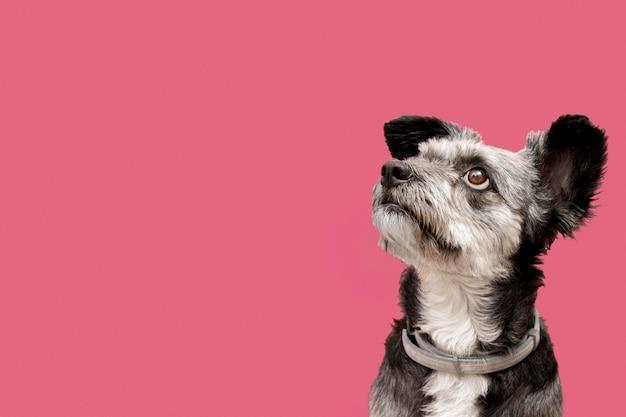 Vista frontale del cucciolo adorabile della razza mista che guarda a sinistra con lo spazio della copia Foto Premium