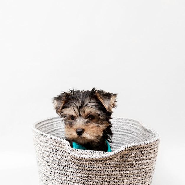 Vista frontale del simpatico cucciolo di yorkshire terrier nel cestello Foto Premium