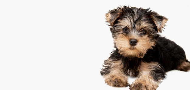 Vista frontale del cucciolo carino yorkshire terrier in posa con lo spazio della copia Foto Premium