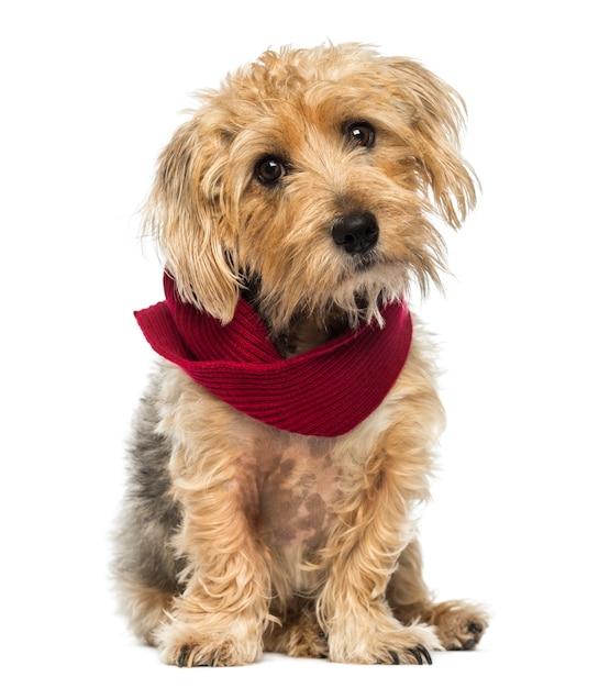 Vista frontale di una seduta di lucas terrier che indossa una sciarpa isolata su bianco Foto Premium