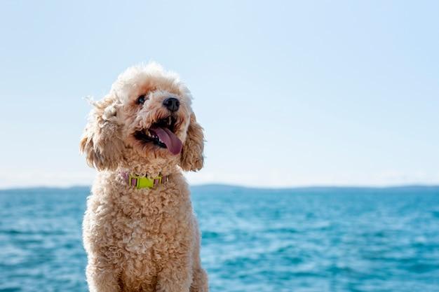 Barboncino vista frontale in riva al mare Foto Premium