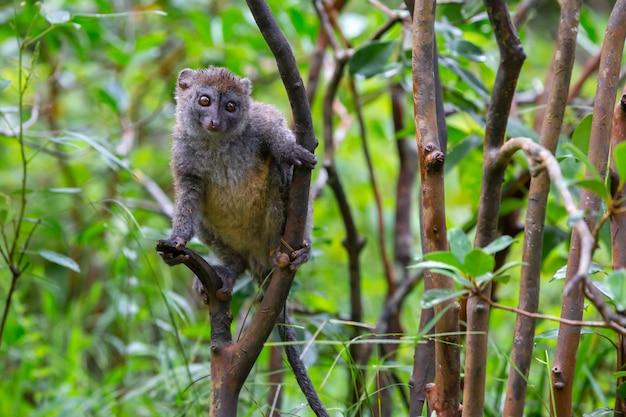 Lemure di bambù divertente su un ramo di albero Foto Premium