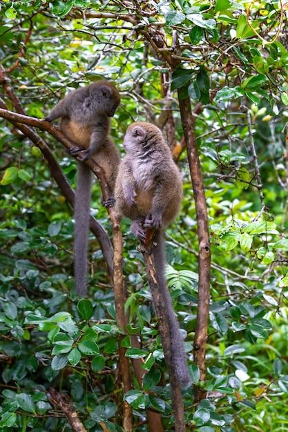 Divertenti lemuri di bambù su un ramo di un albero guardano i visitatori Foto Premium
