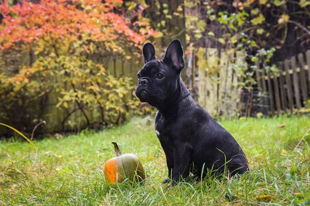 Cane e zucca neri divertenti del bulldog francese Foto Premium
