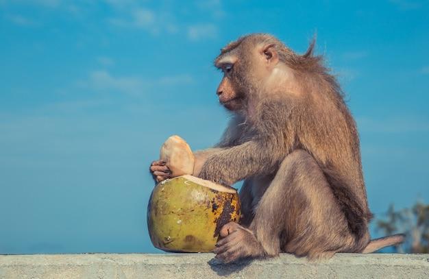 Scimmia divertente che cita una noce di cocco come dessert Foto Premium