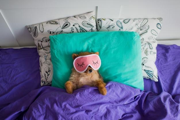 Cucciolo divertente di pomeranian che si rilassa sul letto nella maschera di sonno Foto Premium