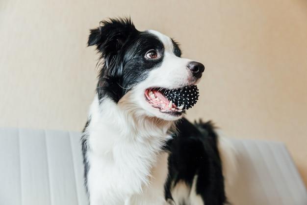 Ritratto divertente di border collie sorridente sveglio del cucciolo di cane che gioca con la palla del giocattolo sullo strato all'interno. nuovo adorabile membro del cagnolino di famiglia a casa che guarda e aspetta. cura degli animali e concetto di animali. Foto Premium