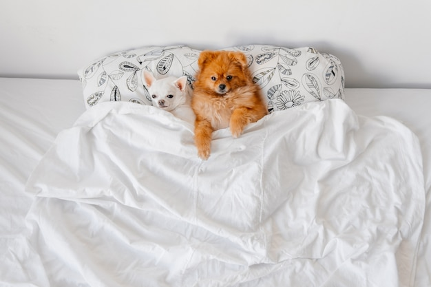 Cuccioli divertenti che si trovano sotto la coperta a letto. Foto Premium