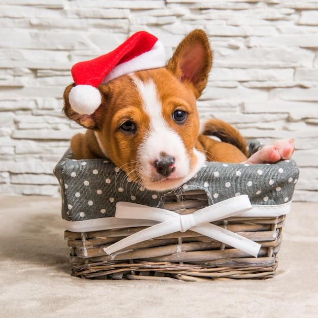 Cucciolo di cane basenji rosso divertente in cappello della santa a natale e capodanno nel cestino Foto Premium
