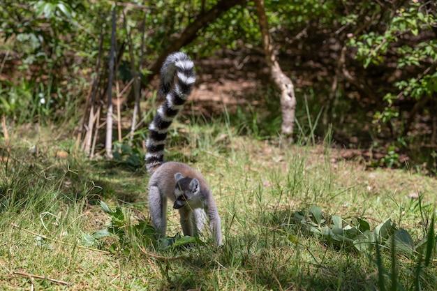 Un divertente lemure dalla coda ad anelli nel suo ambiente naturale. Foto Premium