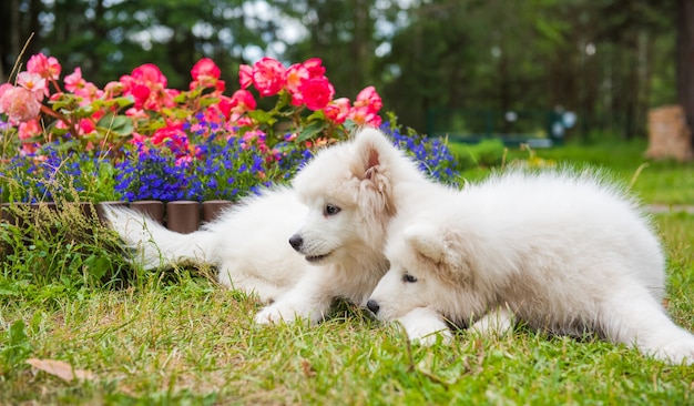 Cani cuccioli di samoiedo lanuginoso bianco divertente sono seduti vicino all'aiuola nel giardino sull'erba verde con i fiori Foto Premium