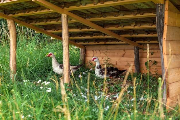 Oche in un canile in una fattoria. Foto Premium
