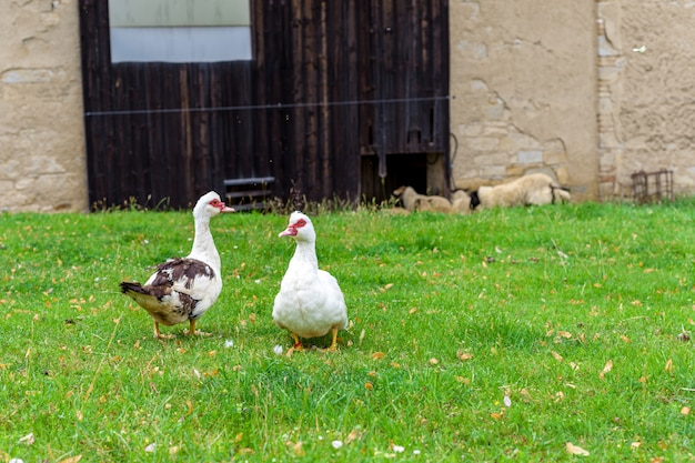 Oche su un pascolo in una fattoria nel villaggio Foto Premium