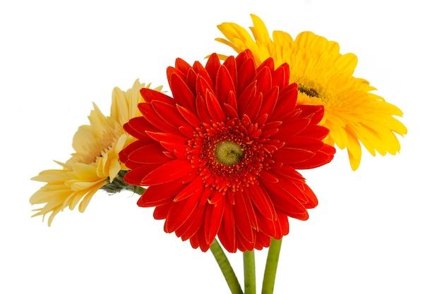 Gerbera fiore sul vaso, isolato su bianco. Foto Premium
